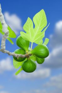 """Learn a lesson from the fig tree. When its branch becomes tender and sprouts leaves, you know that summer is near."""