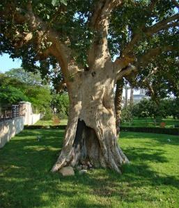 """Zacchaeus' tree"" (sycamore fig tree), Jericho, Palestine, 2012 via Wikimedia Commons"