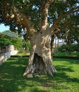 """Zacchaeus' tree"" (sycamore fig tree), Jericho, Palestine, 2012 via Wikimedia Commons"
